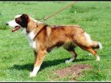Welsh Sheepdog