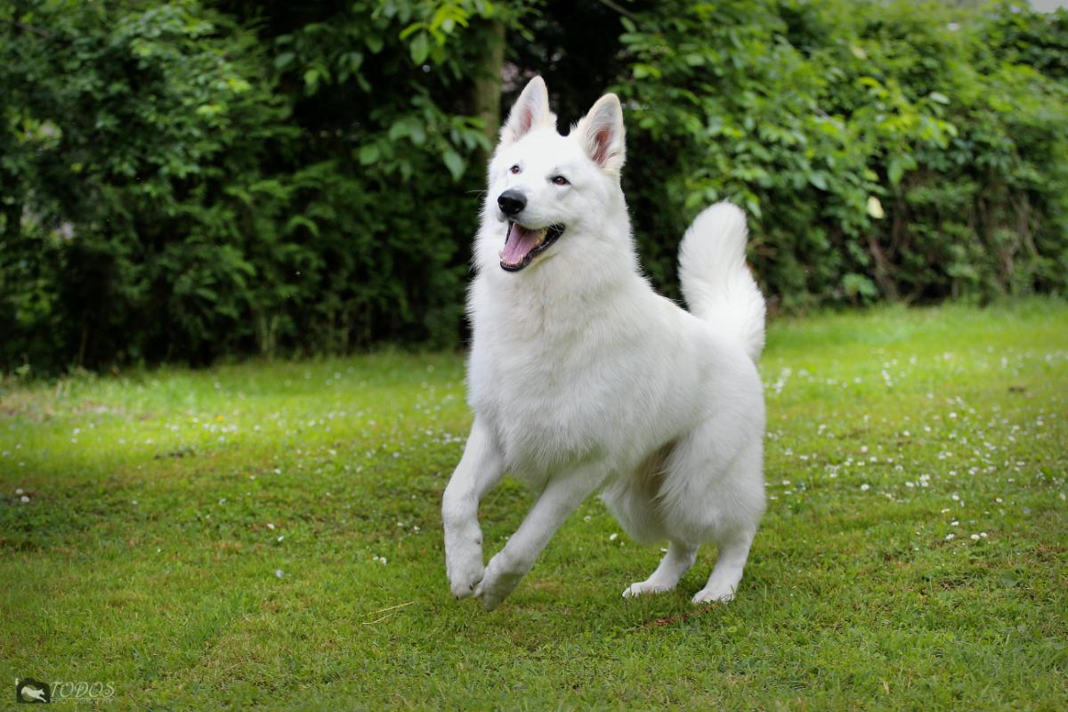 Gallery Swiss White Shepherd Male Stud Dog Hd A Ed 0