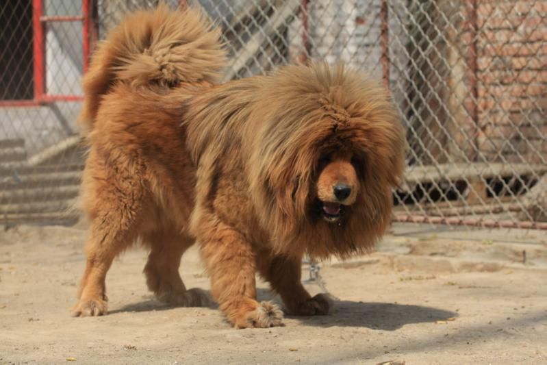 Tibetan Mastiff Mixed With Lion | www.pixshark.com ...