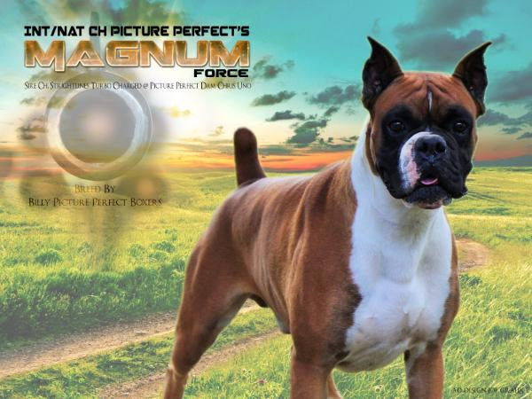INT/NAT CH. Picture Perfect's Magnum Force
