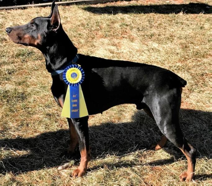 U-CH Devenshires Let Freedom Ring v Doberman Fields'