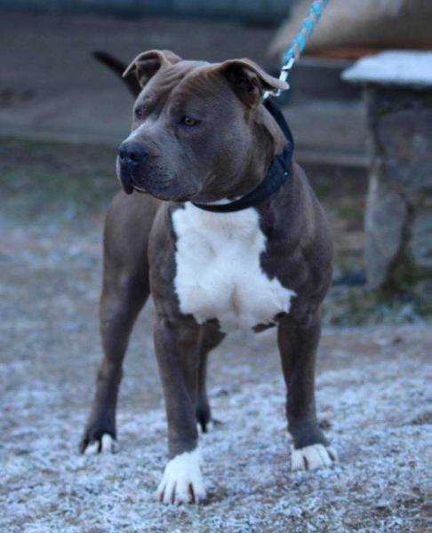 Blue Amstaff Big Bang