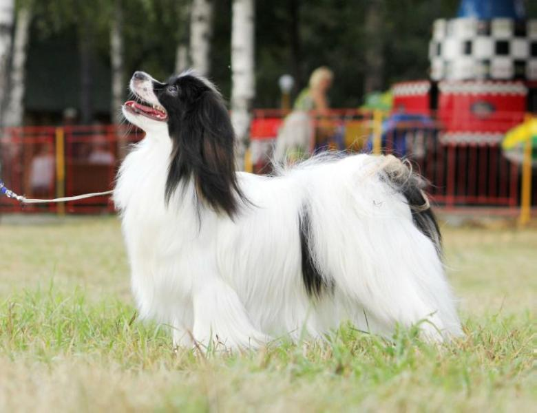 Junior Champion of the National Club of the breed papillon/ Le papillon ravissant Brianna