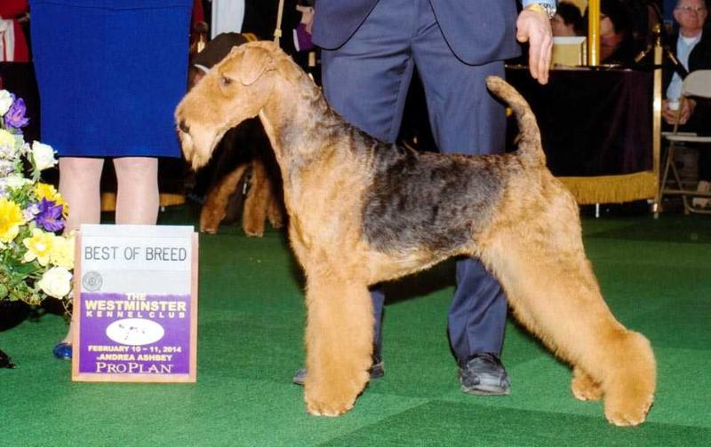AMCH, GCH, CANCH, BIS, BISS Joval Angel's Whisper