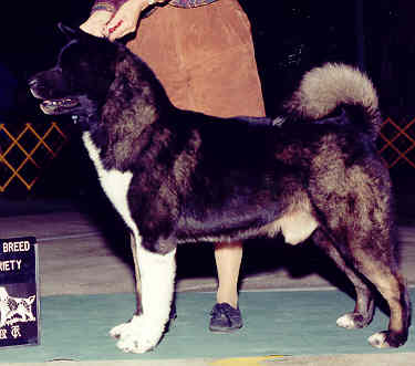 AKC/CAN/UKC/INT'L CH O'PR Royal's The Boogie Man