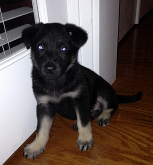 New German Shepherd Puppy Size Full Bred Page 1