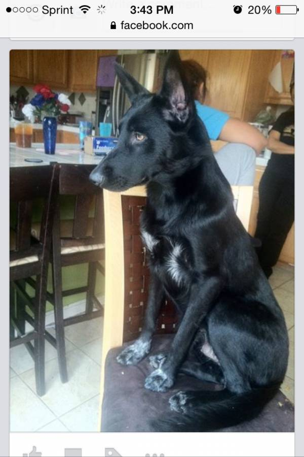 Black Belgian Malinois Mix Or Pure Page 1