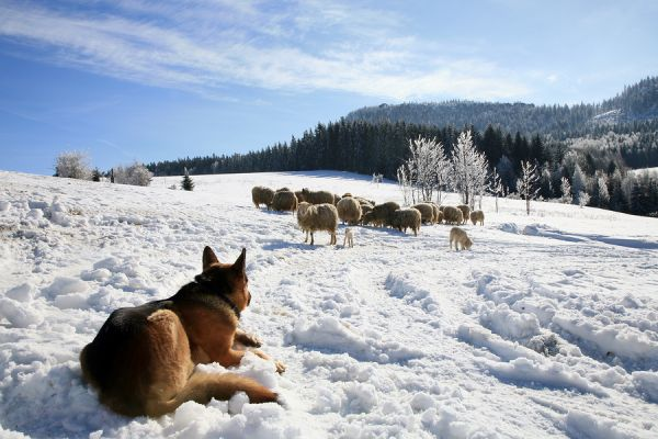 German Shepherd watching flock