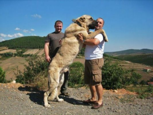 Back > Pix For > Turkish Kangal Dog Breed