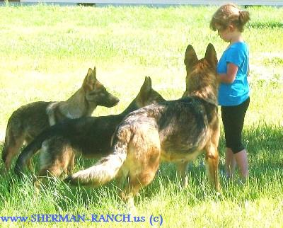 German Shepherds Started and trained adult German Shepherd dogs