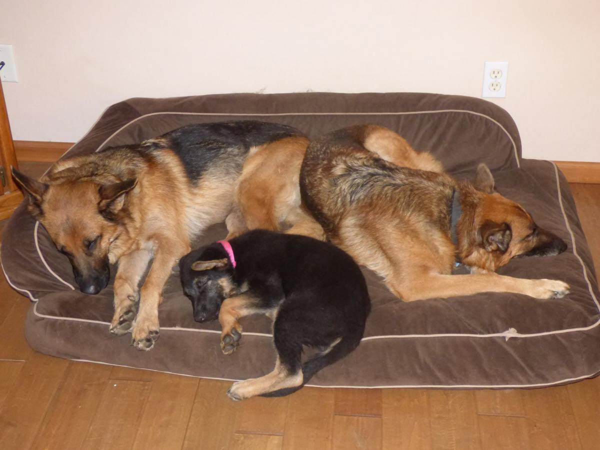 Dog Bed For 2 Goldenacresdogs Com
