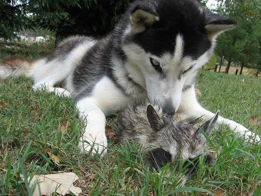 I Had Never Seen It Before, Anywhere.........but One Day She Went Flying  Into The Back Yard And Came Out With A Raccoon.