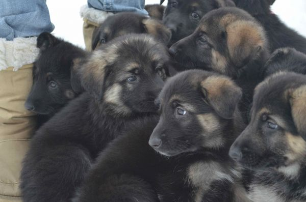 He is in almost the center looking a different direction than the other puppies