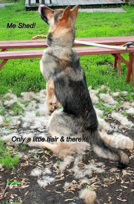 Do German Shepherd S Shed Much Page 1