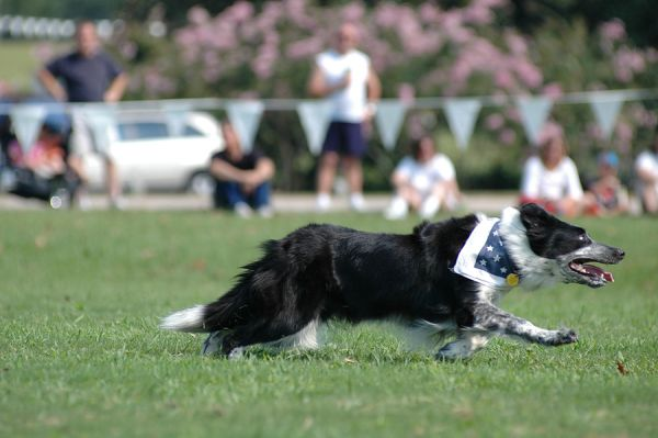 Border collie at herding trial