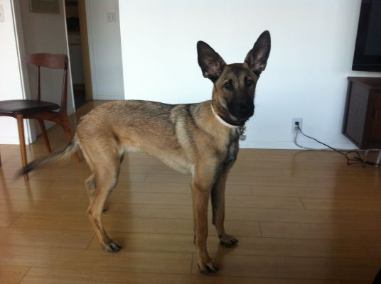 Rescue Puppy—possible Malinois?