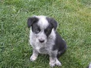 mix w blue heeler blue heelers are usually born white