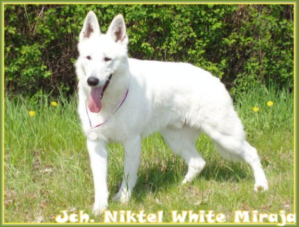 JUNIOR CHAMPION Niktel White Miraja