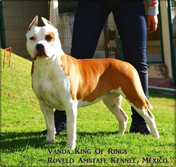 AKC CHAMPION Vanda King Of Rings