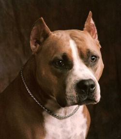 AKC CH Sierra's Trailblazing Irish Cream