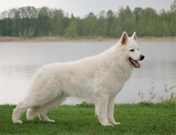 White German Shepherd Puppies for Sale for Sport and Family