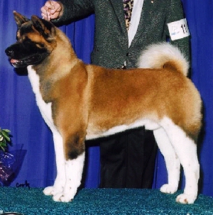 BISS AKC CH T'Stone Cut To The Chase Chiheisen