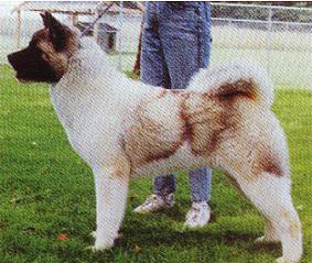 AKC CH Regalia's Mountain Man