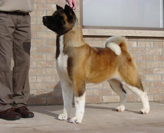 AKC CH Buckridge's Daughter Of The King