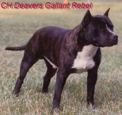 CH (AKC) Deaver's Gallant Rebel