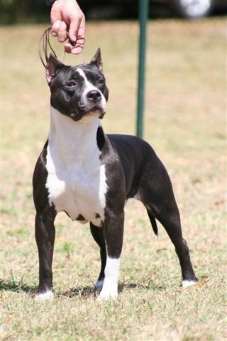 AKC/UKC CH Grimes' Without A Shadow Of Doubt