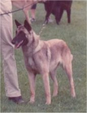 MEHRFACH V1 UND CAC Sabrefield Hope for me (Malinois)