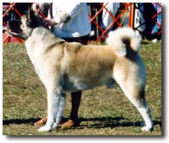 AKC CH N Stars Coors Silver Bullet