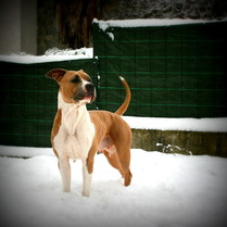 Blue Amstaff All Lovely