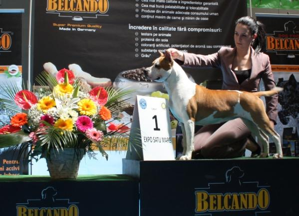 Inter Ch. GrCH. Genius ast Honey of WHITE-amSTAFF