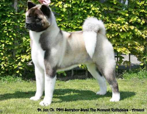 AKC/UK/VDH CH, DT JCH Satrebor Steal The Moment Ruthdales