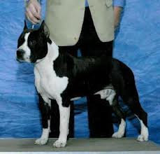 GCH Lbk's Night Ryder