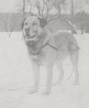 Chinook (1917) Breed Foundation Sire