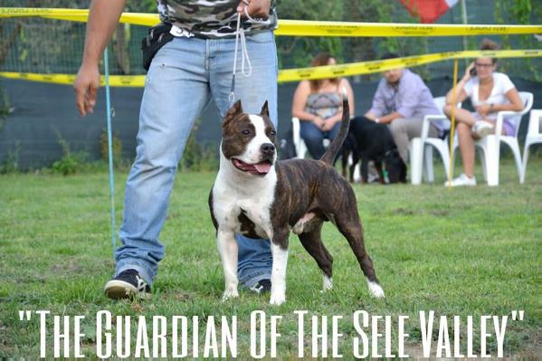 Hollywood amstaff the guardian  of the sele valley