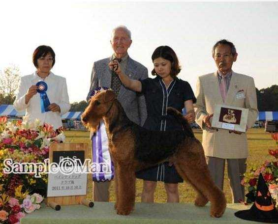 No1 Airedale Terrier In Japan for 2011 & 2012 & 2013 Multipl C.K.Terra JP*S RockRidge Figaro