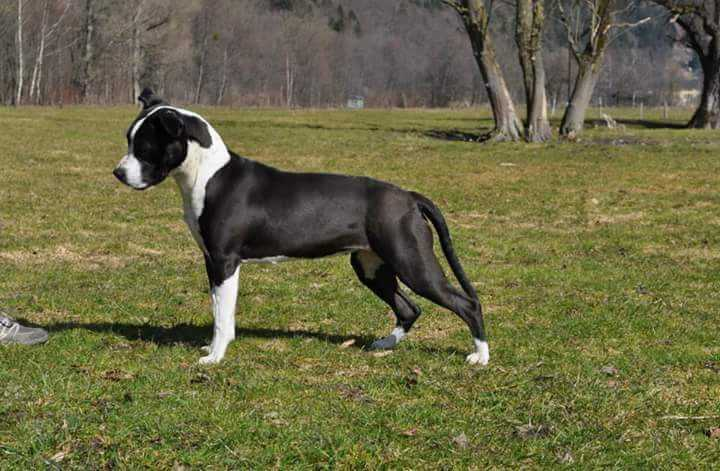 Nomicon LOS Bonami Royal Amstaff