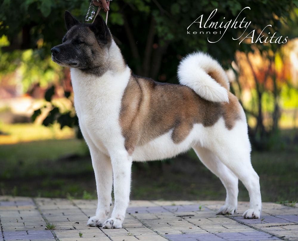 BBBIS, UA GCH, UA/MLD/BY/RO/BG/ML/SRB CH, BY/BG/RO/MD/UA JCH Indi (All For Almighty Kennel)