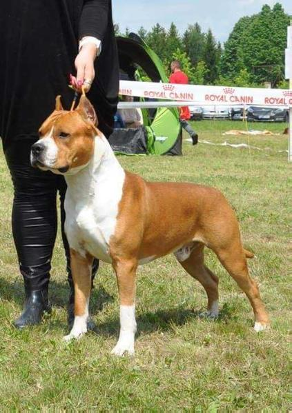 AKC.CH, Multi BIS, Multi J.BIS. WHITE-amSTAFF Goes to Hollywood