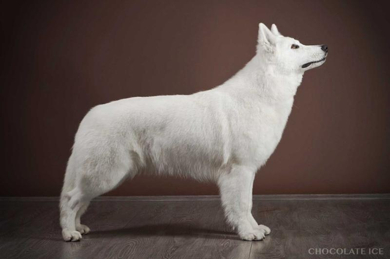 C.I.B. TOP DOG'16, FBBSI CLUBW'16, MULTI GR CH, CH OF CHS'16 Full-Moon of Ice Wine (Chocolate Ice kennel)