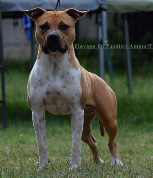 Laina of passion amstaff