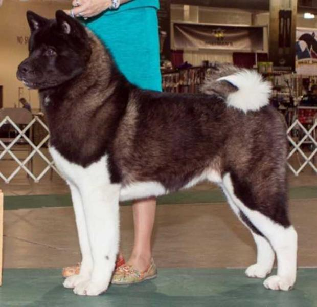 BISS AKC GCH, CAN CH Okami's Consider It Done