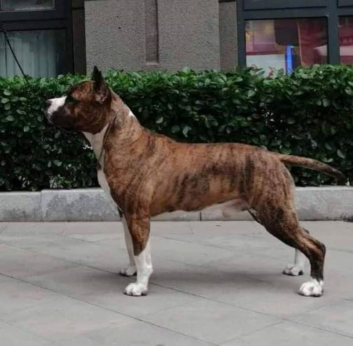 BIS CH CN Amstaff Style The Wall