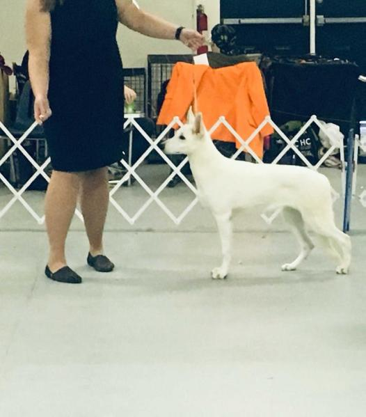 UKC CH. Hall's Scarlett A One to Remember