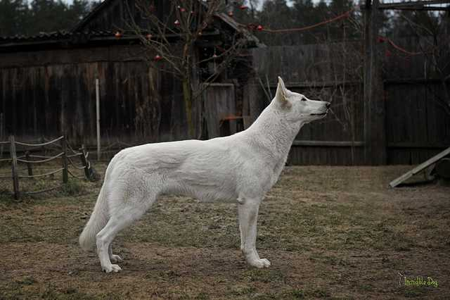 Ch Blr Cassiopeia INCREDIBLE DOG