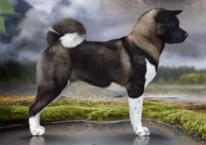 RUS CH, RUS JCH, RKF JCH Valgrand Victory White Black Fairy Tale
