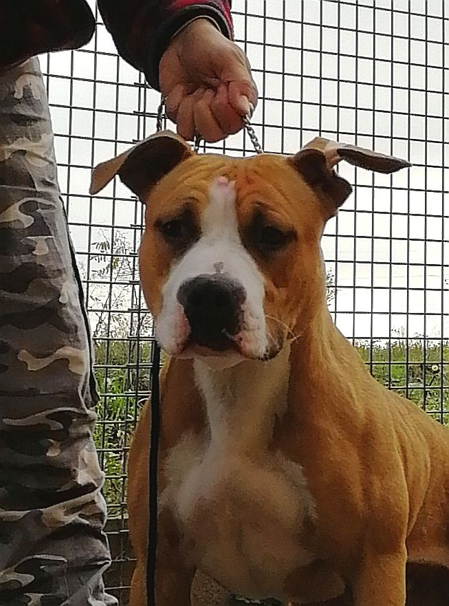 Amstaff Style Expertoclass Morning Star
